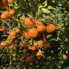 Mandarinas   3 kilos
